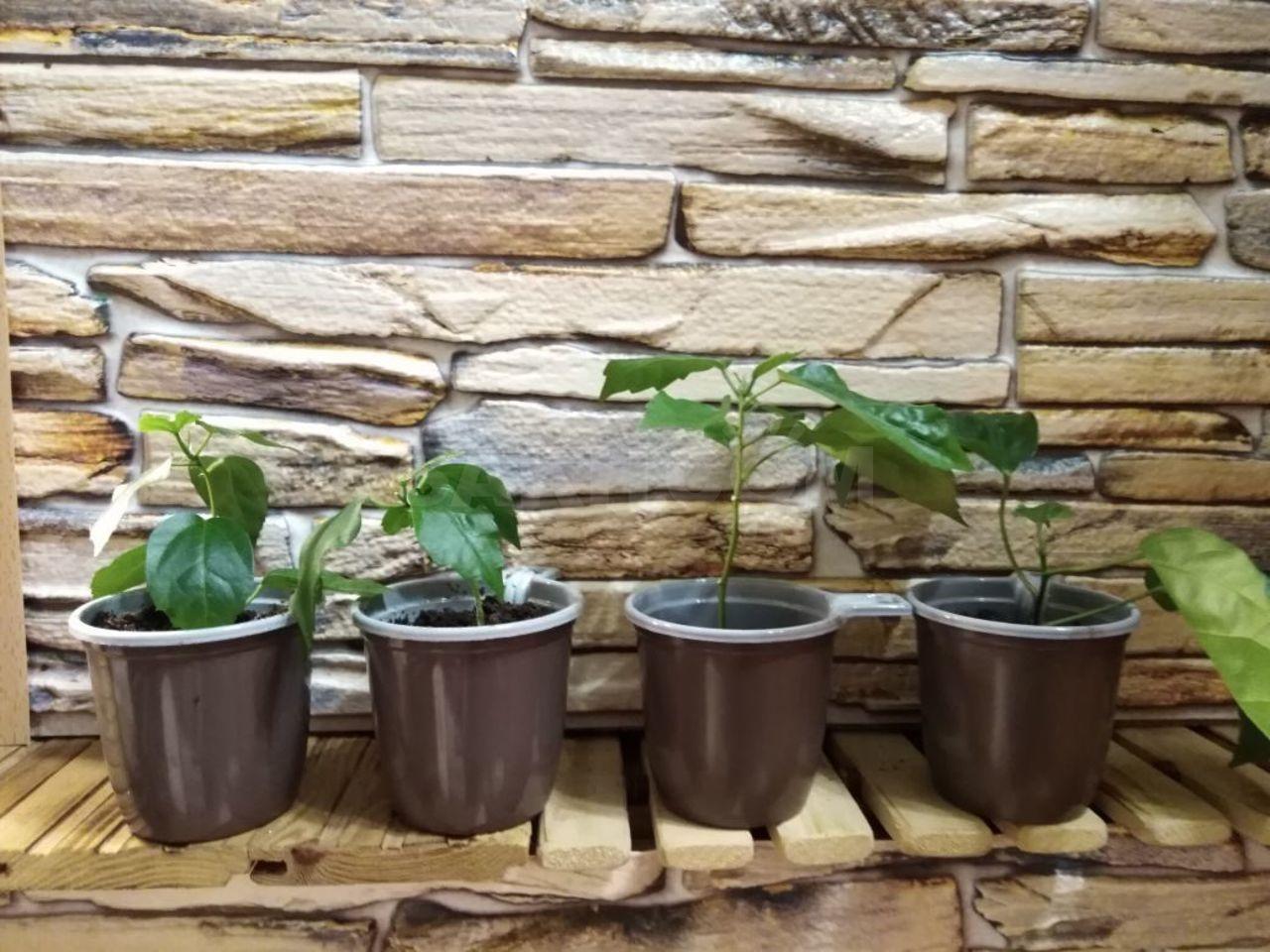 Укорененные черенки быстро растут и выпускают новые листья