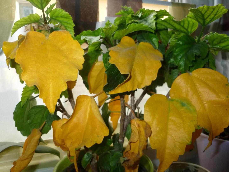 Хлороз листьев – явный признак избытка азота