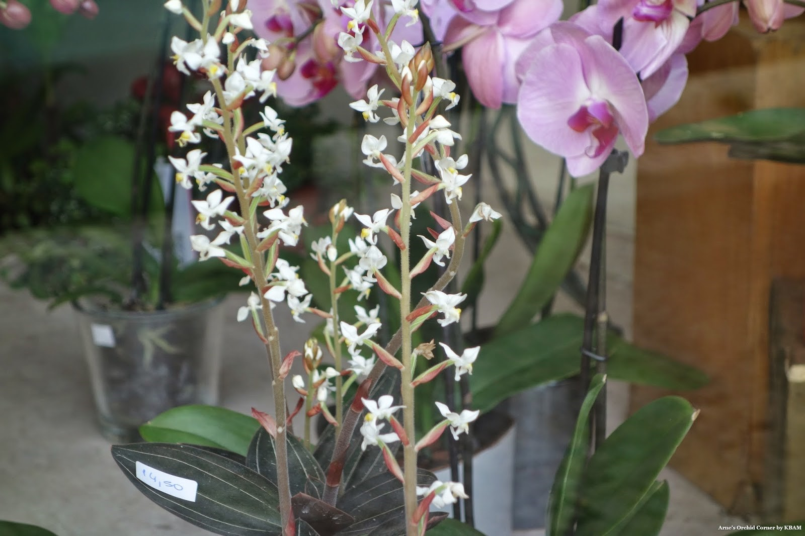 Цветки лудизии в сравнении с обычными орхидеями