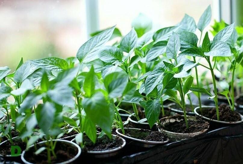 Чтобы ростки не вытягивались и не искривлялись, их периодически поворачивают другой стороной к свету