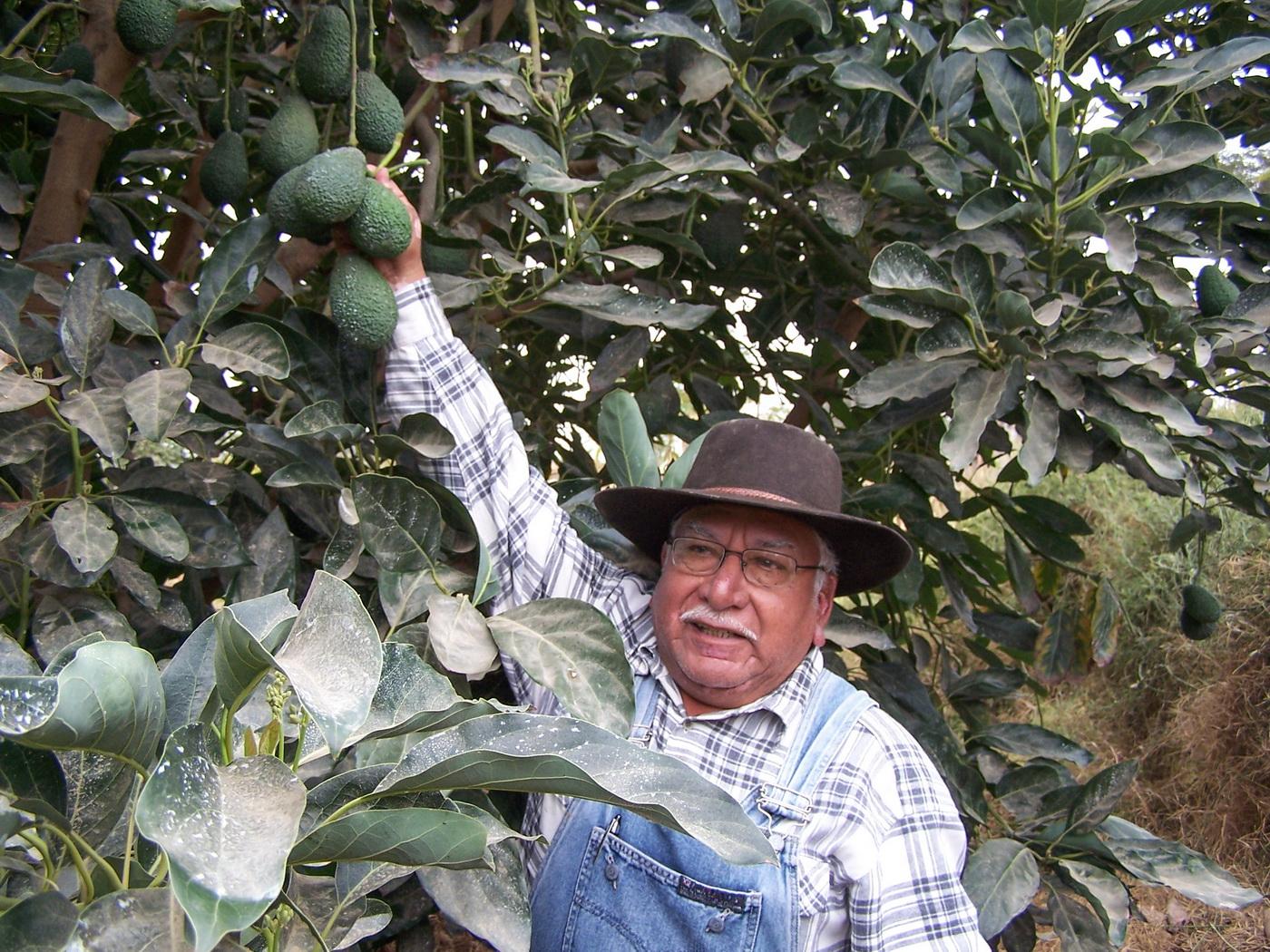 В естественных условиях произрастания авокадо – это высокое дерево