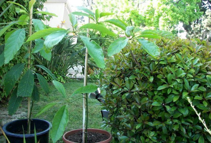 Как растет авокадо фото растений в саду