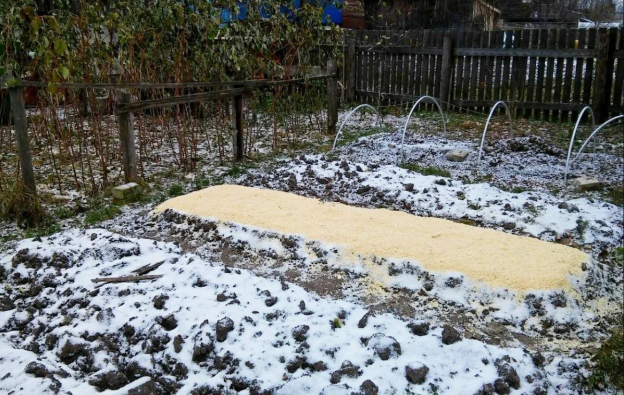 Первый снег – самое время сажать морковь
