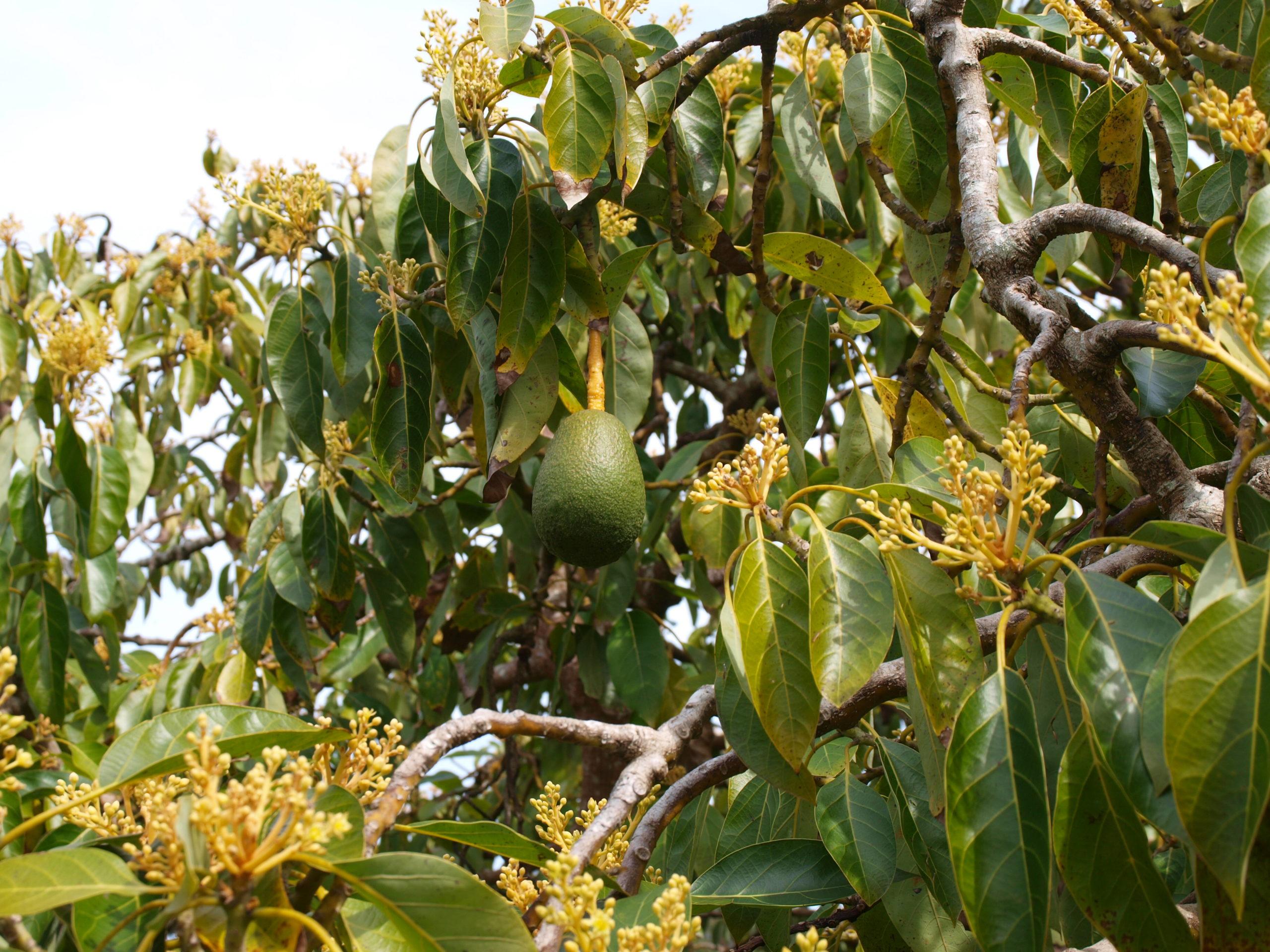 Цветущий авокадо