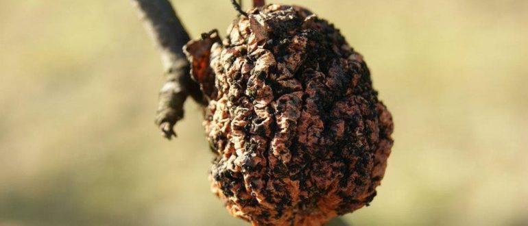 Мумифицированный плод груши