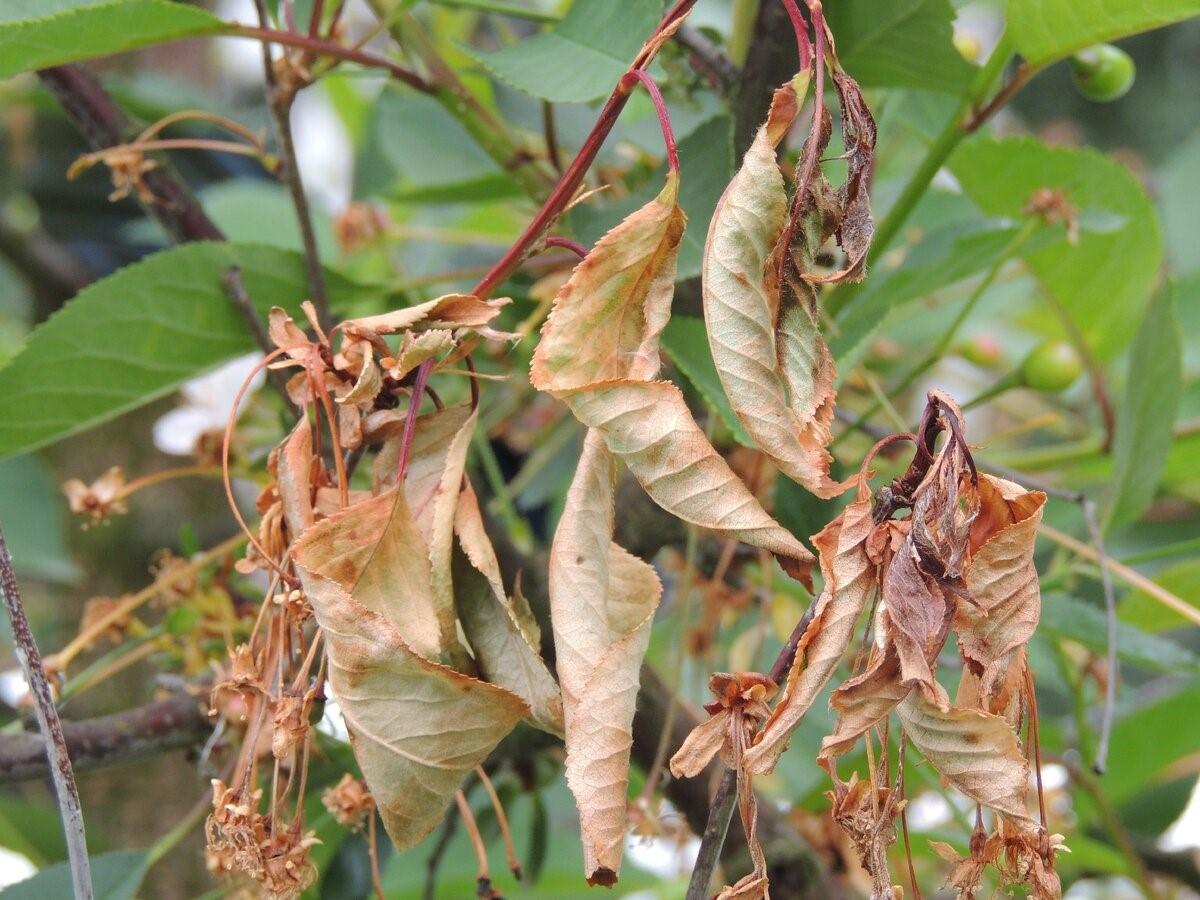 Подлежащие уничтожению соцветия и листья