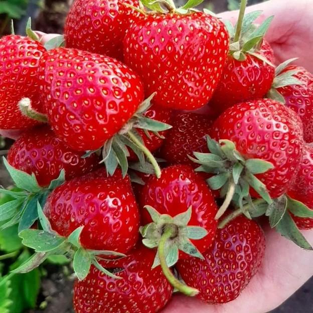 Лучшие сорта клубники с крупными ягодами
